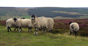 Photo of sheep at Rosedale Bank Top, North Yorkshire Moors